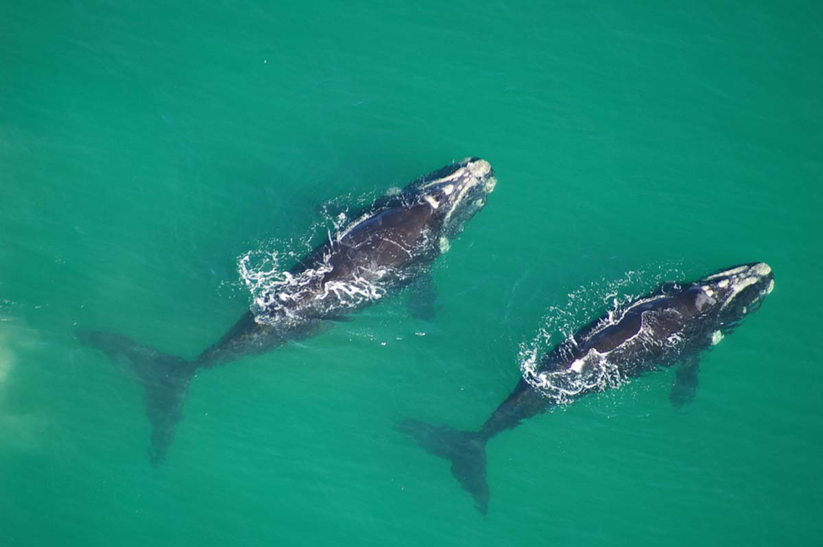 Southern Right Whales in Hermanus
