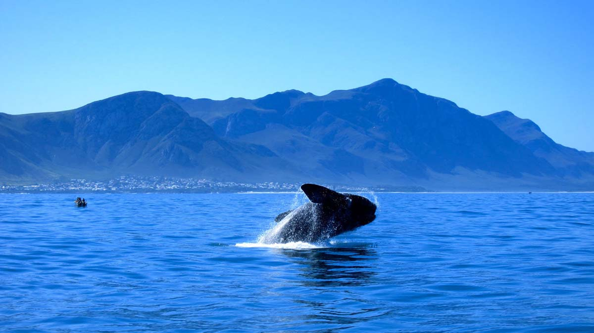 Southern Right Whales visit Walker Bay Marine Reserve