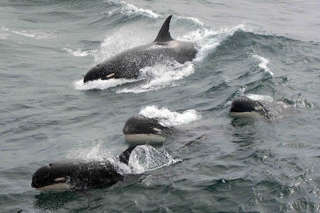 Orcas, the great white shark hunters