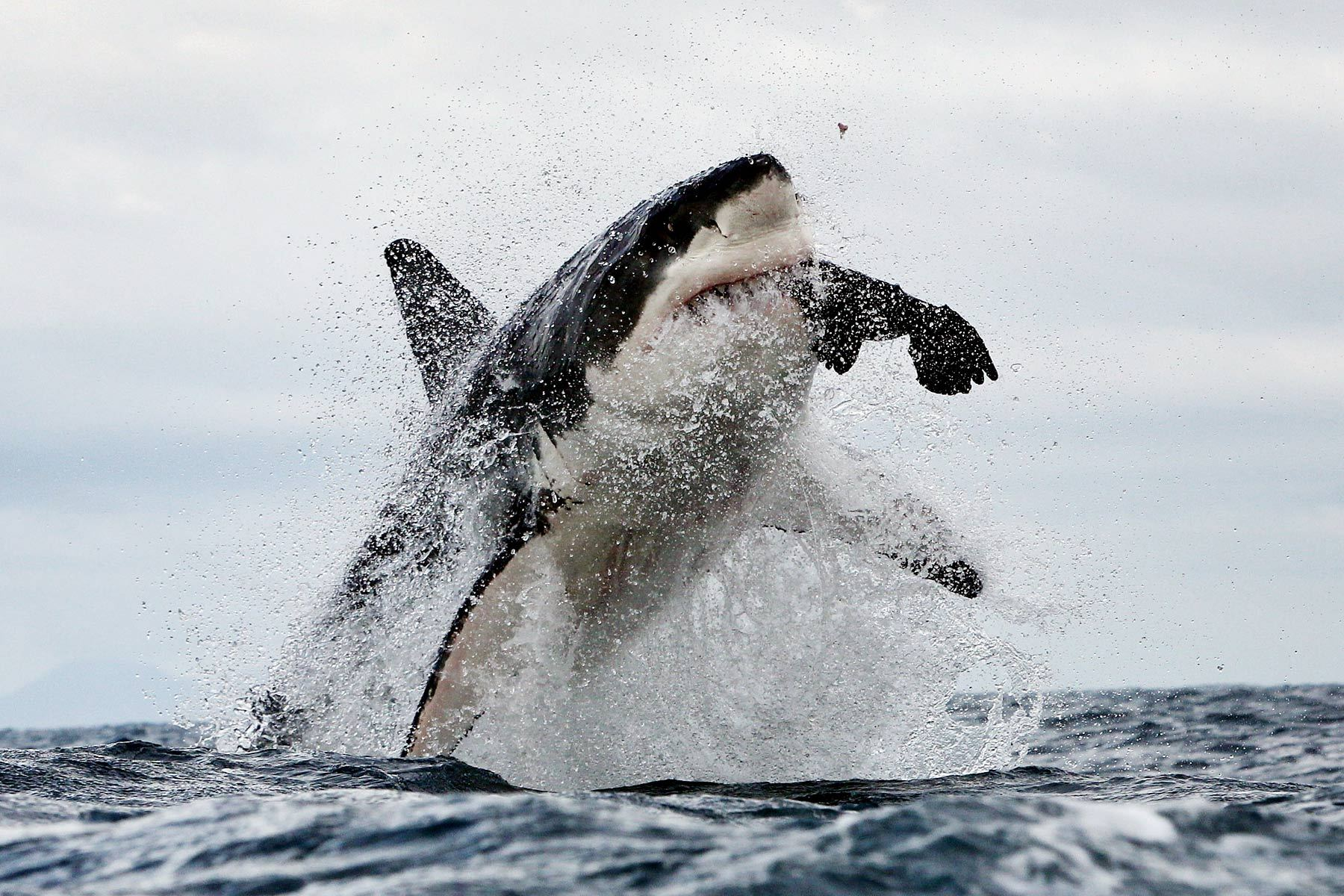 Great white shark breaching and catching seal