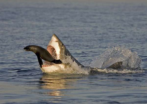 Great white shark catching a seal